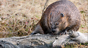 Close view of a beaver on a log.