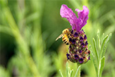 Honey bee feeding on a lavender flower