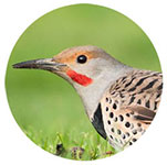 Close-up of a Northern Flicker