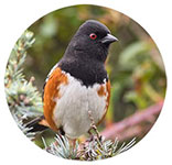 a Spotted Towhee in a tree