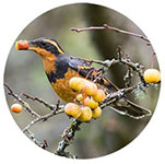 A Varied Thrush eating a grape