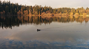 A duck glides on calm waters in Lost Lagoon at autumn.