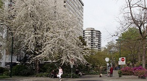 Blossoms in the West End