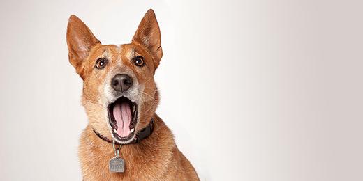 Dog Barks On Lead