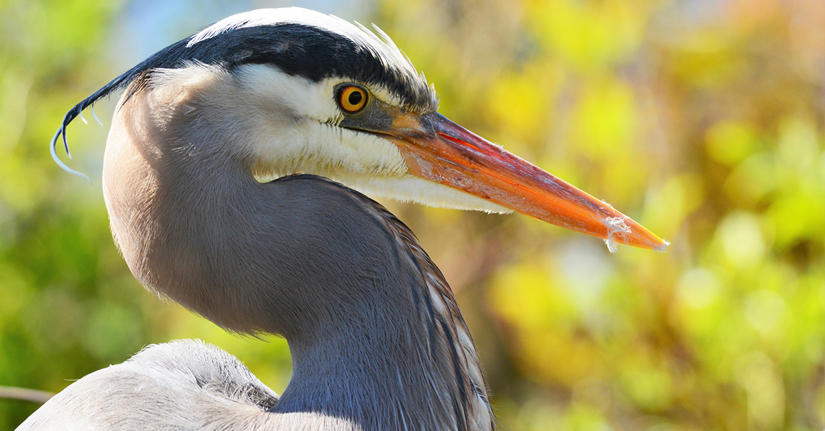 Pacific Great Blue Herons Return To Stanley Park Colony For 18th