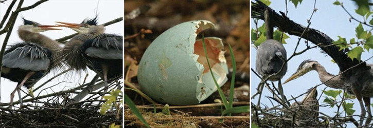 Heron and its egg