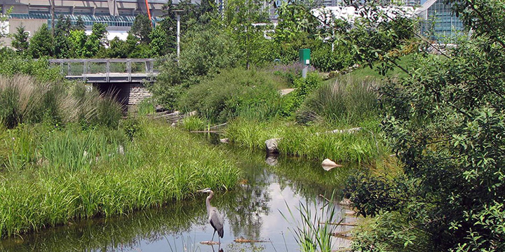 A blue heron fishing at Hinge Park with lush shoreline vegetation, BC Place and Downtown Vancouver in the background