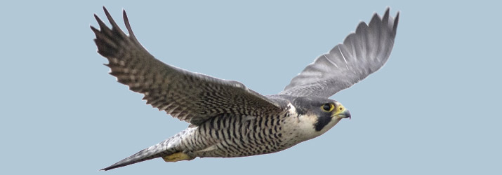 Peregrine Falcon 2016 City Bird