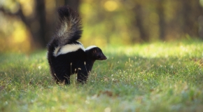 Skunk in the park