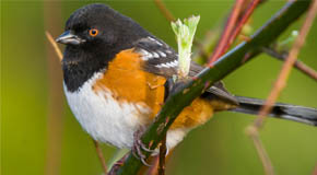 Spotted towhee bird on a branch - photo by Don Enright