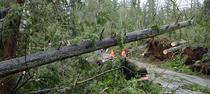 Trees In Stanley Park Were Hard Hit By The 2006 Windstorm