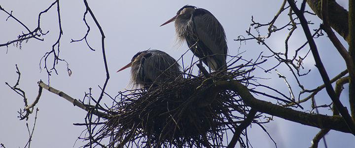 Herons in a nest