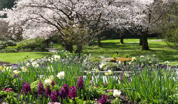 Cherry blossom trees in Rose Garden