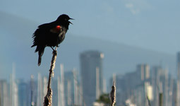 Red-winged black bird sitting on tree