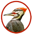 Pileated Woodpecker ‏